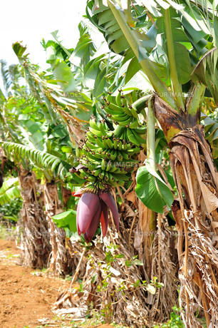 宮古島/果汁園の島バナナの写真素材 [FYI00620410]