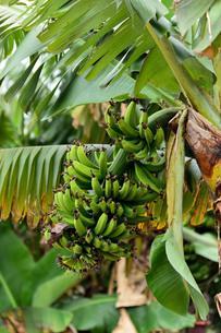 宮古島/果汁園の島バナナの写真素材 [FYI00620459]