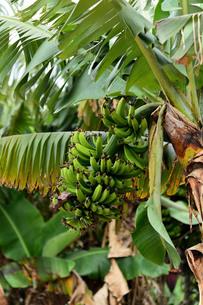 宮古島/果汁園の島バナナの写真素材 [FYI00620460]