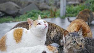 猫島の野良猫の写真素材 [FYI00620979]