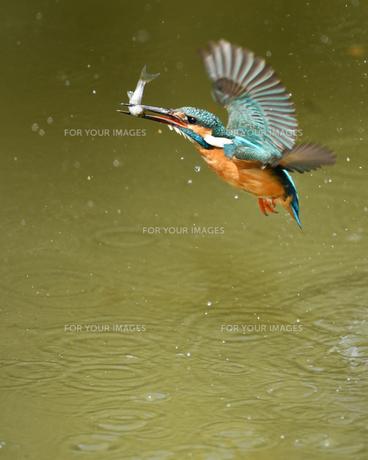 カワセミの捕食の写真素材 [FYI00621202]