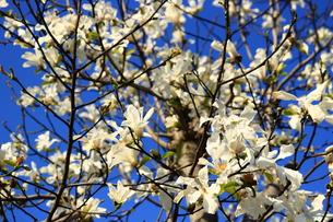 コブシの花の写真素材 [FYI00621223]