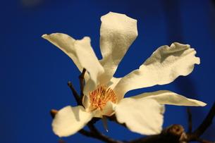コブシの花の写真素材 [FYI00621224]