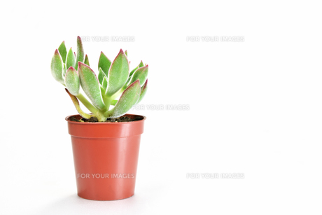 白背景の多肉植物の写真素材 [FYI00621578]