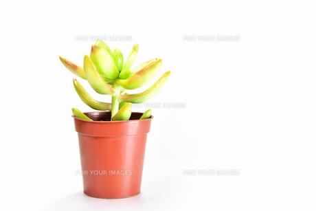 白背景の多肉植物の写真素材 [FYI00621579]
