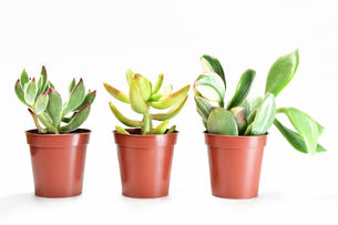 白背景の多肉植物の写真素材 [FYI00621580]