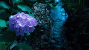川辺の紫陽花の写真素材 [FYI00621594]