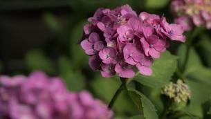 ピンクの紫陽花の写真素材 [FYI00621595]