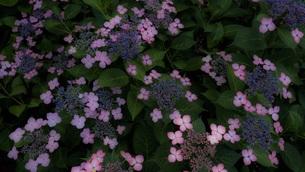 紫陽花柄の写真素材 [FYI00621597]