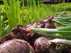 タマネギ 収穫 初夏の写真素材 [FYI00621790]