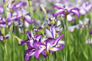 菖蒲の花の写真素材 [FYI00622085]