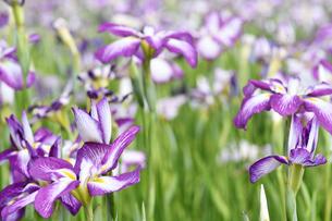 菖蒲の花の写真素材 [FYI00622086]