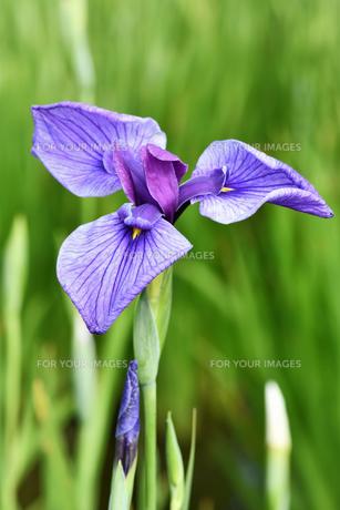 菖蒲の花の写真素材 [FYI00622087]