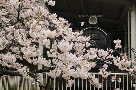 ソメイヨシノと蒸気機関車の写真素材 [FYI00622154]