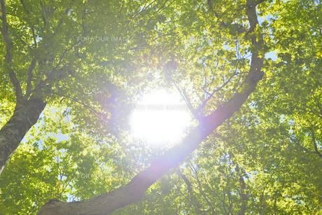 森林の新緑の写真素材 [FYI00622231]