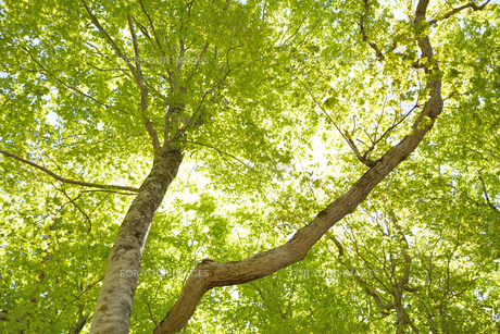 森林の新緑の写真素材 [FYI00622233]