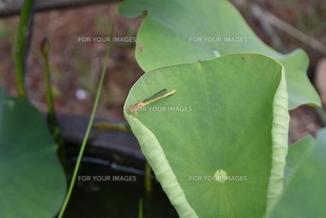 蓮の葉とイトトンボのコラボの写真素材 [FYI00622356]