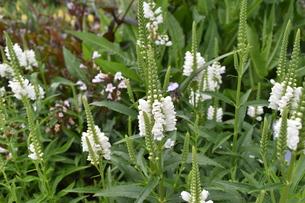 ハナトラノオ.クリスタイルピークホワイト花が尾のように見えるの写真素材 [FYI00622369]