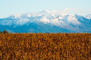 冠雪の山並みと秋の大豆畑の写真素材 [FYI00622533]
