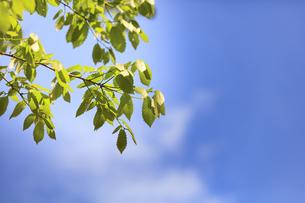 ミズナラの若葉 - 日本の初夏の写真素材 [FYI00622548]