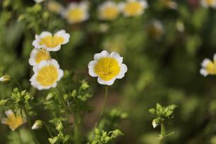 黄色いネモフィラの花の写真素材 [FYI00622551]