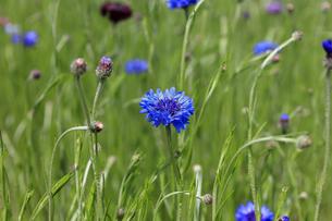 畑に咲くヤグルマギク - 日本の初夏の写真素材 [FYI00622552]