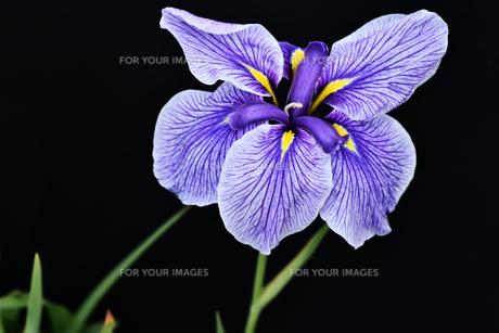 黒背景の菖蒲の写真素材 [FYI00623132]