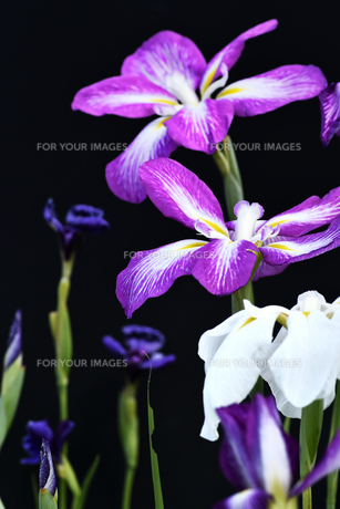 黒背景の菖蒲の写真素材 [FYI00623133]