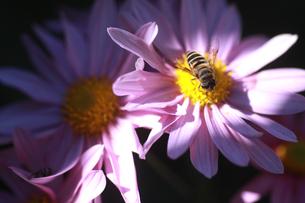 ミヤコワスレとミツバチの写真素材 [FYI00623512]