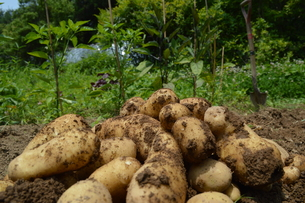 初夏 ジャガイモ 収穫の写真素材 [FYI00623909]