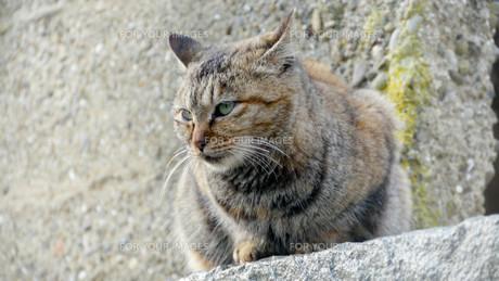 野良猫の写真素材 [FYI00623928]