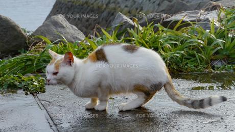野良猫の写真素材 [FYI00623929]