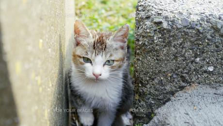 野良猫の写真素材 [FYI00623948]