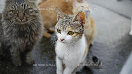 野良猫の群れの写真素材 [FYI00623956]