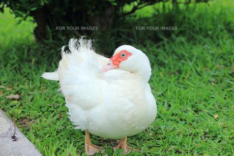 バリケン|アヒルに似た家禽の写真素材 [FYI00624073]