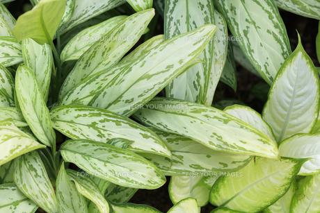 亜熱帯の観葉植物の写真素材 [FYI00624855]