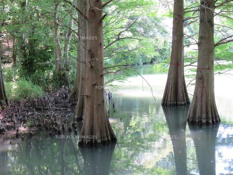篠栗 九大の森 森林 木 林の写真素材 [FYI00624955]