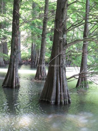 篠栗 九大の森 森林 木 林の写真素材 [FYI00624960]