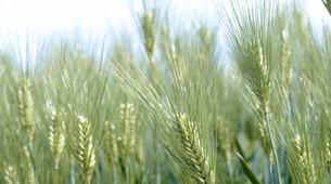 麦畑の写真素材 [FYI00625614]