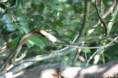 樹上の蛇の写真素材 [FYI00625728]