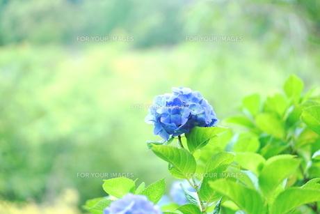 ブルーの紫陽花の写真素材 [FYI00626228]