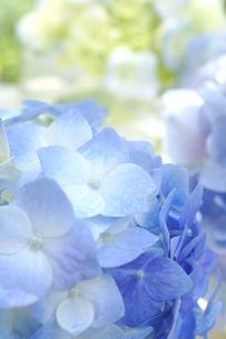 紫陽花のアレンジメントの写真素材 [FYI00626230]