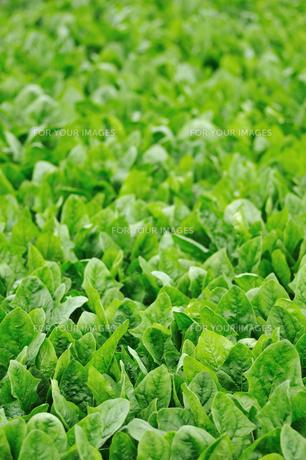 ほうれん草畑の写真素材 [FYI00626301]