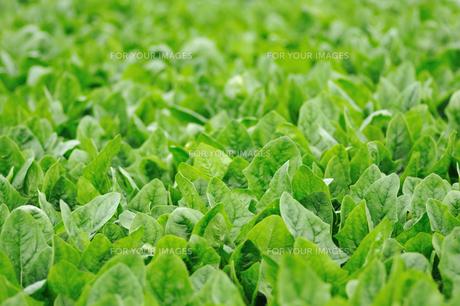 ほうれん草畑の写真素材 [FYI00626302]