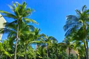 ハワイ ヤシの木の写真素材 [FYI00626378]