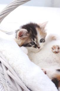 スコティッシュフォールド 子猫の写真素材 [FYI00626632]
