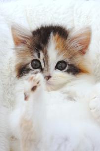 スコティッシュフォールド 子猫の写真素材 [FYI00626635]