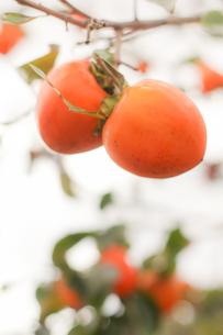 柿の実の写真素材 [FYI00626647]