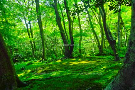 苔の森の写真素材 [FYI00627000]