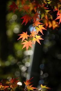 竹林の紅葉の写真素材 [FYI00627142]